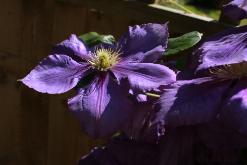 Blue clematis 009